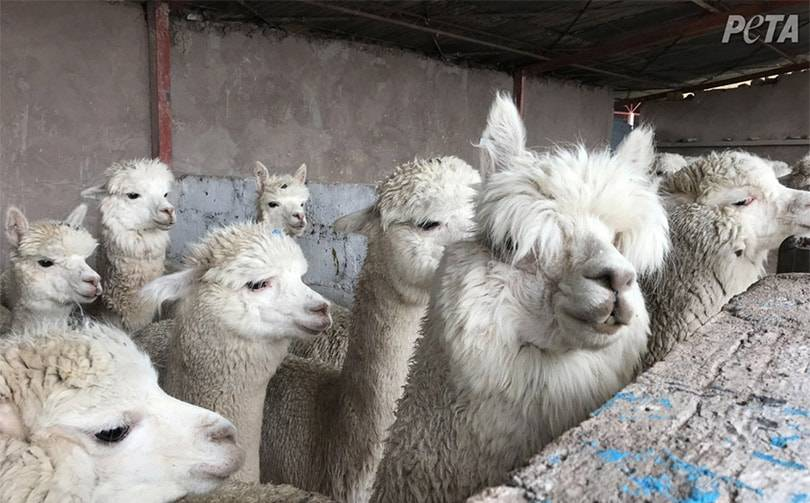 Ascena Retail Group to stop using alpaca fur across brands