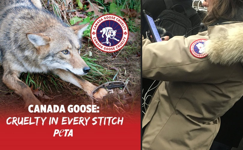 canada goose jackets animal cruelty